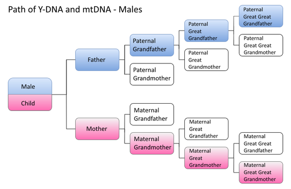 Y-DNA and mtDNA paths for males