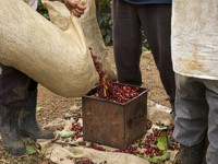 Collecting the Coffee Cherries
